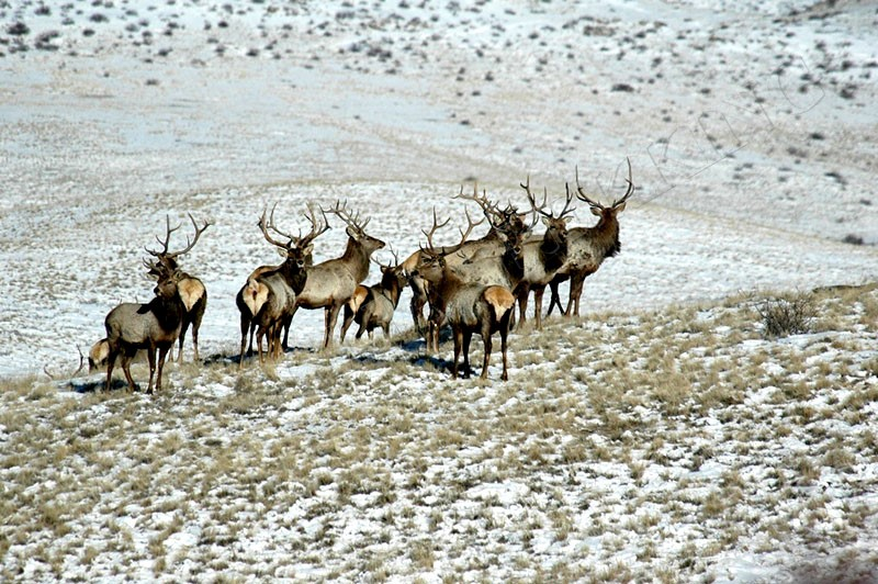 Red deers - Amazing wildlife of mongolia tour