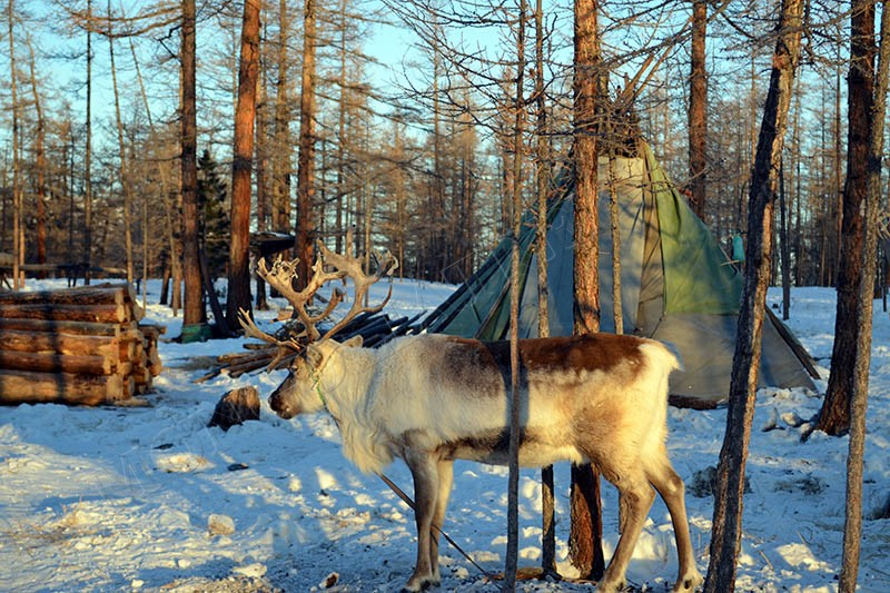 Visit the reindeer herders - Culture tour